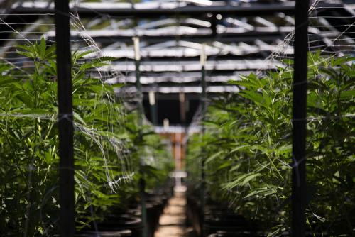 Il ya beaucoup de confusion ces jours-ci sur les différences entre le chanvre et la marijuana. Bien que similaires, il existe des différences clés entre eux