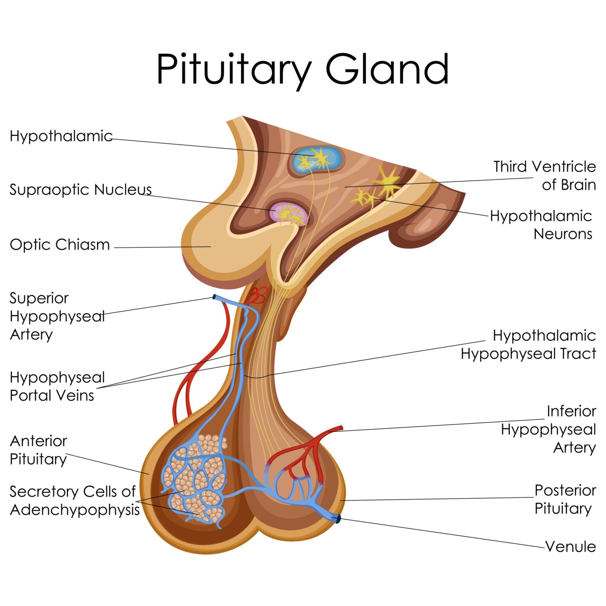 disturbi-endocrini-ghiandola-pituaria