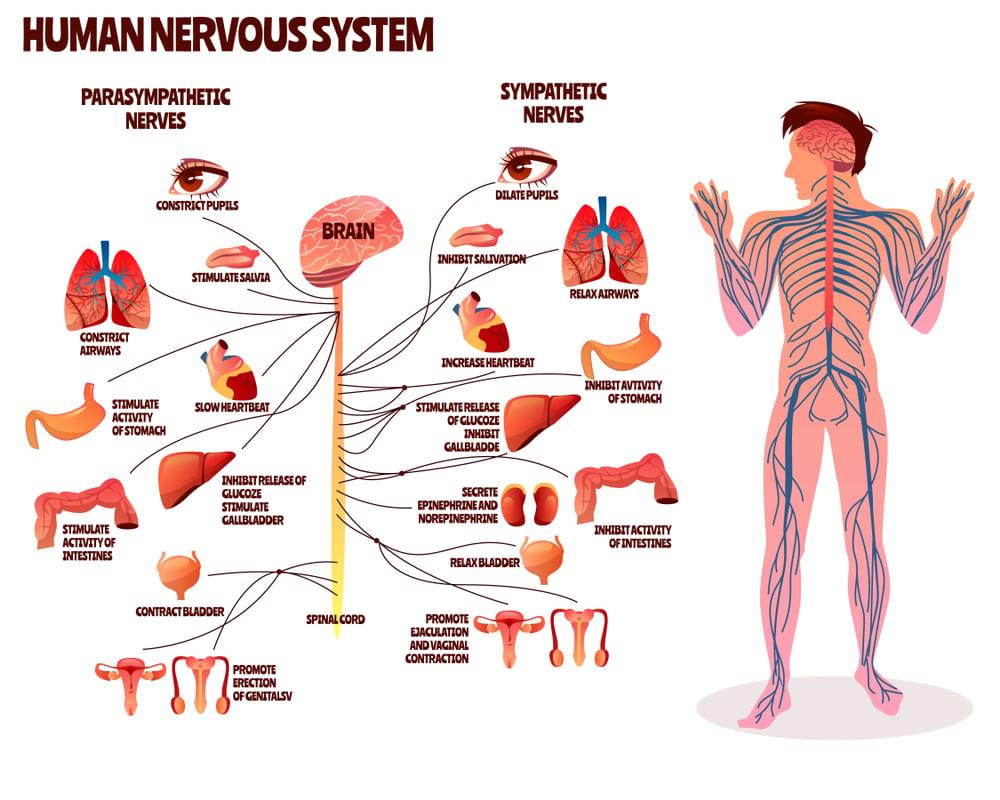 sns-vs-pns-patologia-ansia