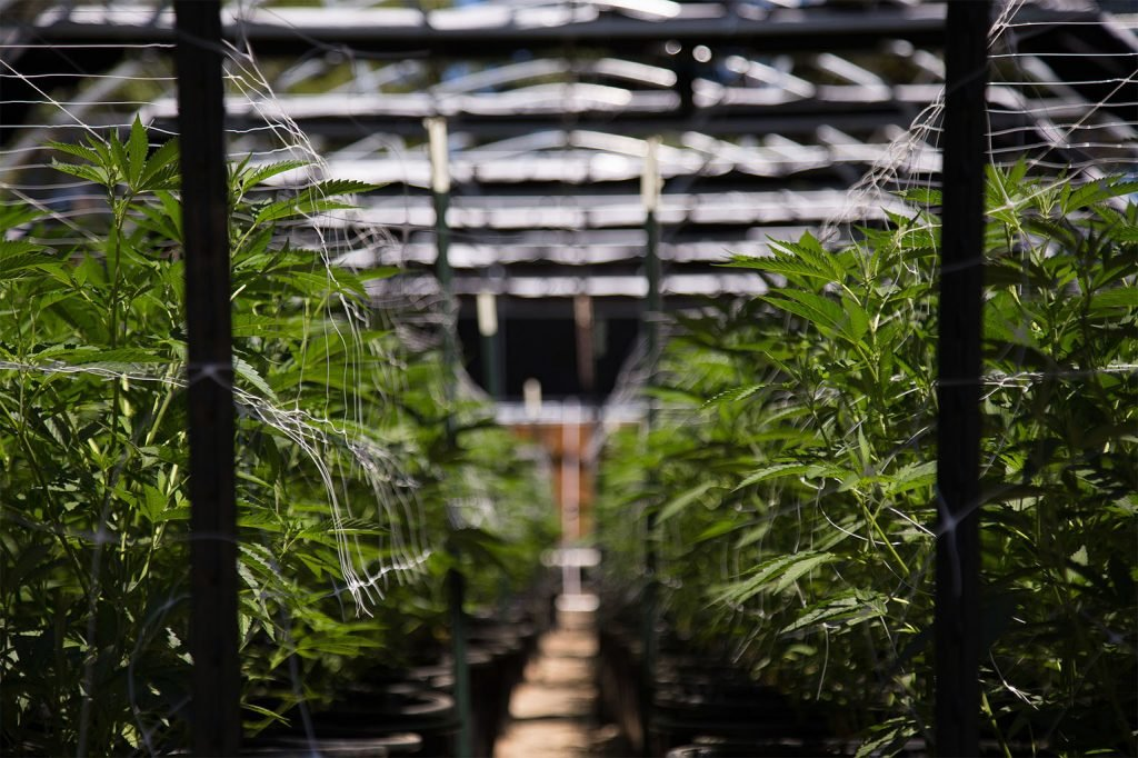 Canapa vs. marijuana 1